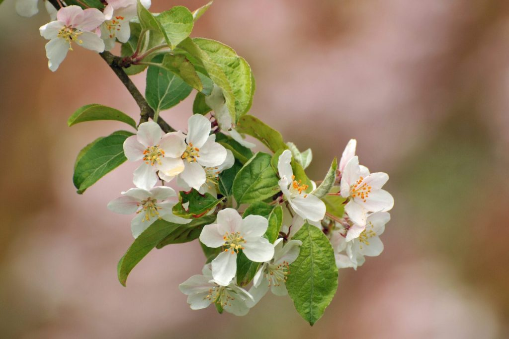 apple blossom was taken by club member Lucy Ainsworth