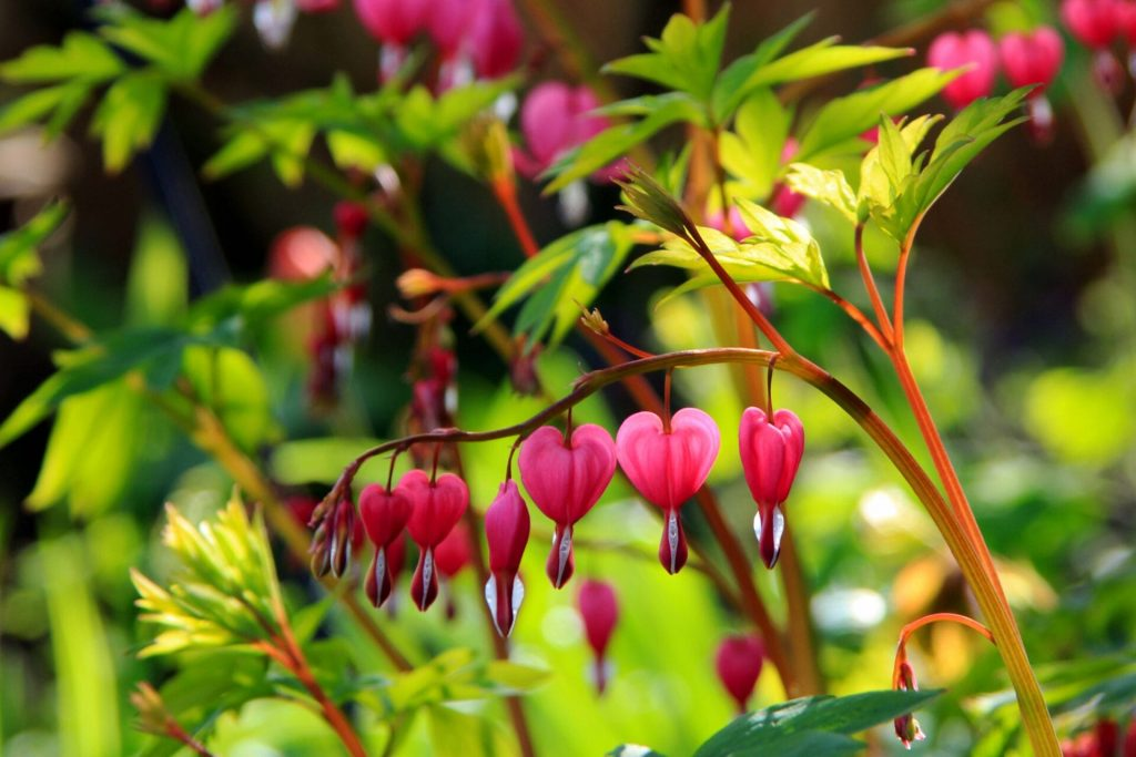 Bleeding Heart - colourful and graceful and needs splitting every 3 years to make more plants.
