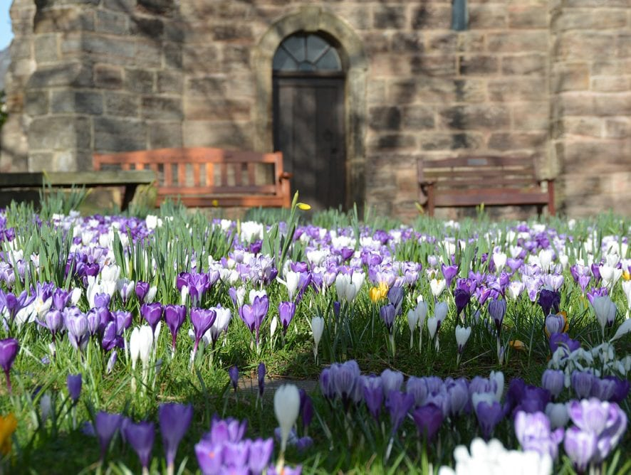 Crocus in flower at St Chad's Church, Poulton